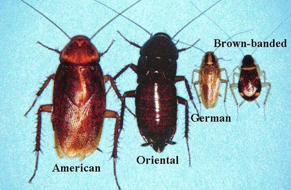 Cockroach species that commonly inhabit human dwellings include the following: German cockroach (Blattella germanica); American cockroach (Periplaneta americana); Oriental cockroach (Blatta orientalis); brown-banded cockroach (Supella longipalpa); Australian cockroach (Periplaneta australasiae); smoky-brown cockroach (Periplaneta fuliginosa); and brown cockroach (Periplaneta brunnea)