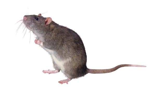 Mouse and rodent allergens are common in houses and classrooms