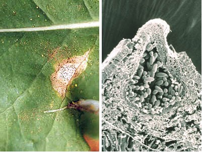 Coelomycete infection in a leaf (left) and pycnidium of coelomycete (right)