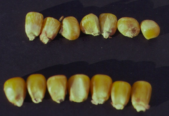 "Corn kernels infected with Fusarium moniliforme (upper row) showing ""starburst"" symptom (a white streaking of the kernel)"