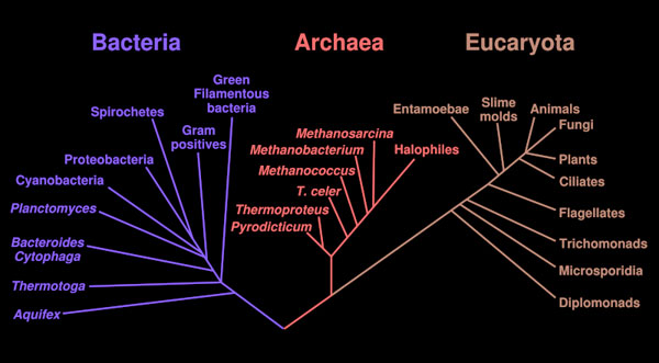 A phylogenetic tree based on rRNA data, showing the separation of Bacteria, Archaea, and Eucaryota