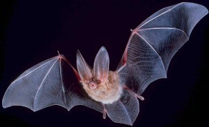 Bats can be carriers of infectious organisms. Shown here is the Townsend's big-eared bat, Corynorhinus townsendii